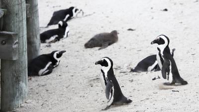 Dozens of endangered African penguins killed in apparent bee swarm
